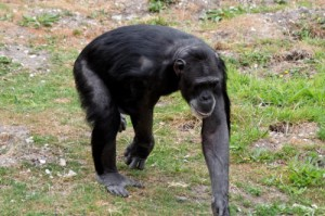 Chimpanzee Walking