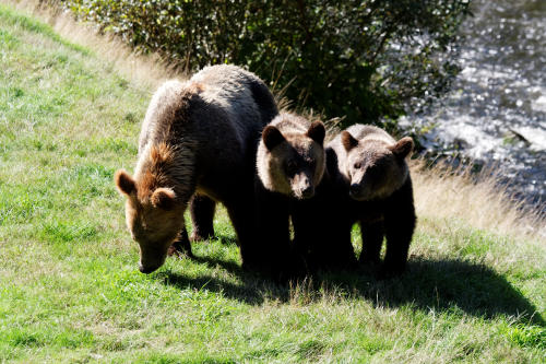 Grizzly Family