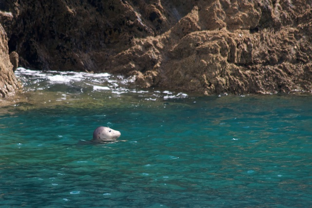 Lundy Harbour Seal